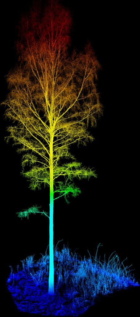 A birch consisting of 12 million 3D-points. This tree was cut from a larger area scanned with a terresterial laser scanner (TLS).